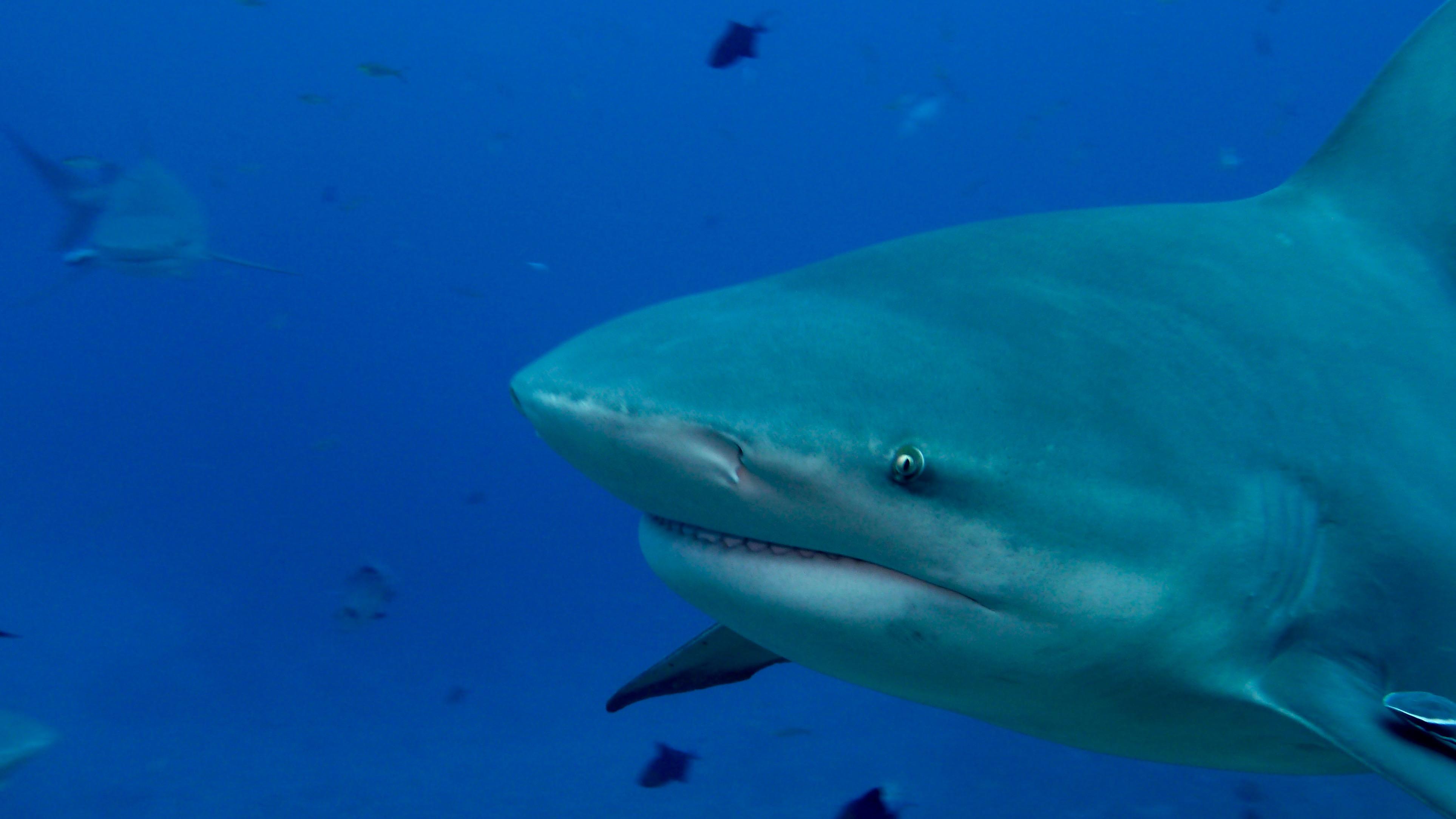 Bull Shark Profile