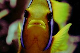 Clown Fish Rainbow Reef