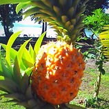 Fresh Fruit at Viani Bay Resort - Dive Academy Fiji