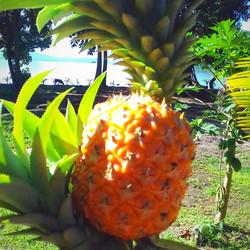 pineapple ripe_edited_edited