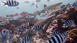 White tip sharks