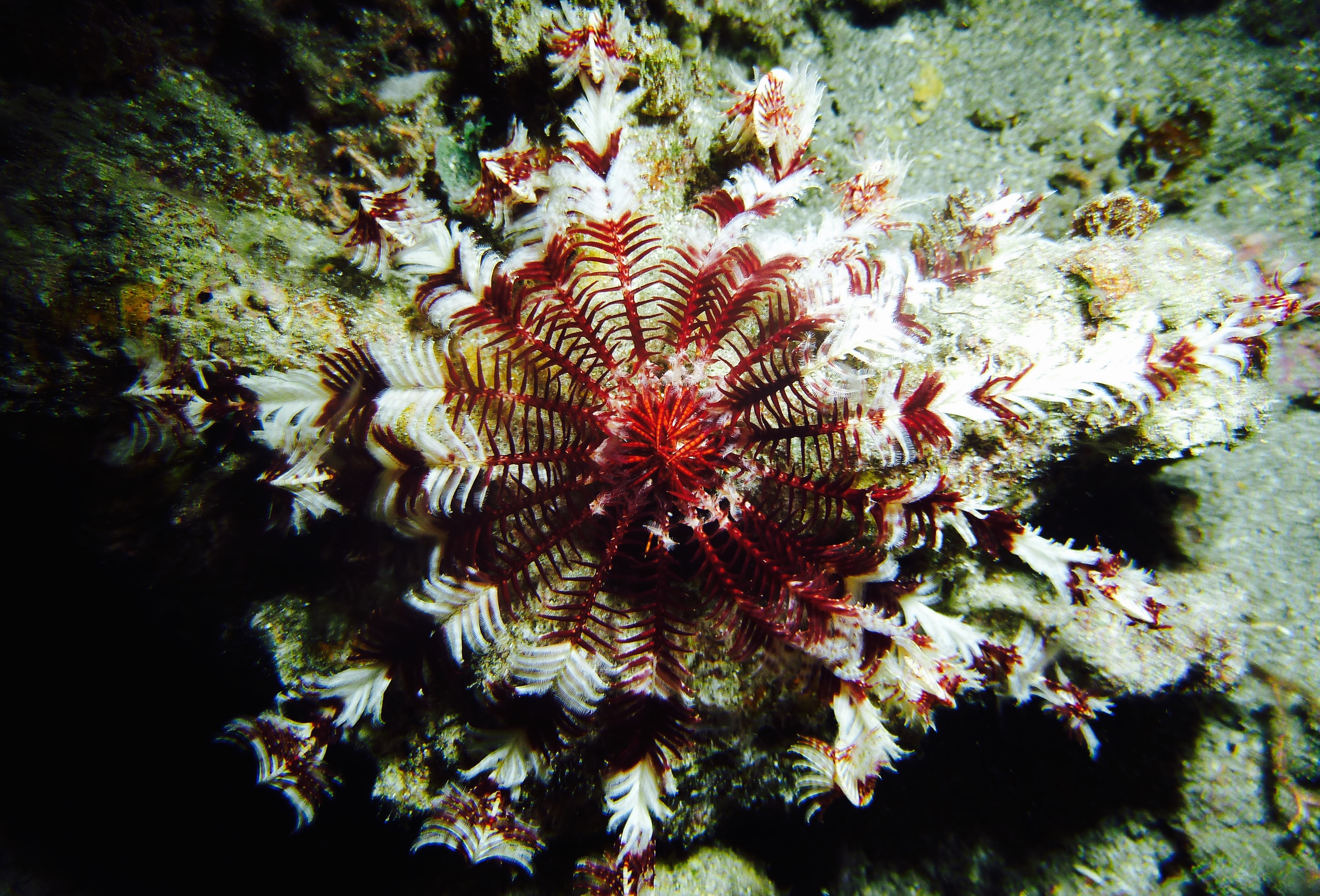Feather Star night