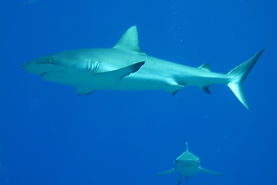 Shark Dives at Rainbow Reef - no feeding
