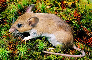 white footed mouse.jpeg