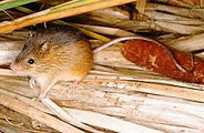 meadow jumping mouse.jpeg