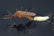 southern mosquito.jpg