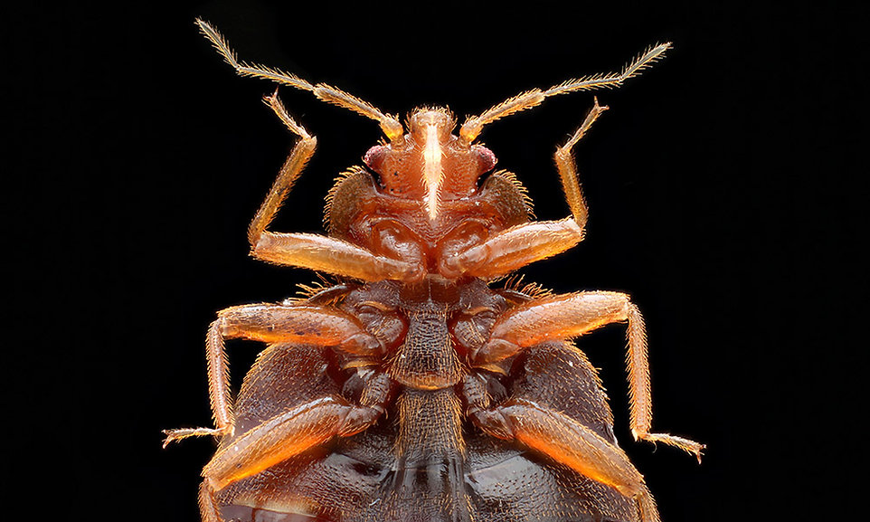 bed bug page.jpg