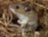 deer mouse.jpeg