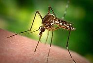 yellow fever mosquito.jpg