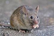 house mouse.jpeg