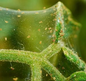 spider mites.PNG