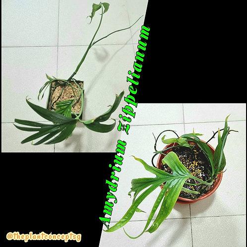 Amydrium Zippelianum