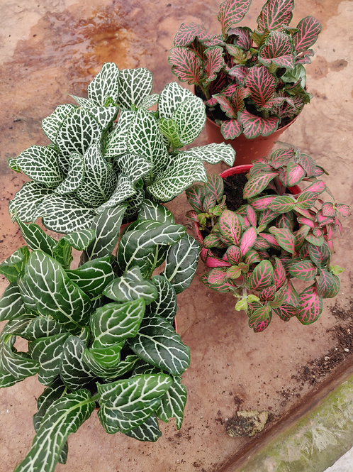Fittonia Assorted Color