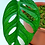 Thumbnail: Monstera Acuminata