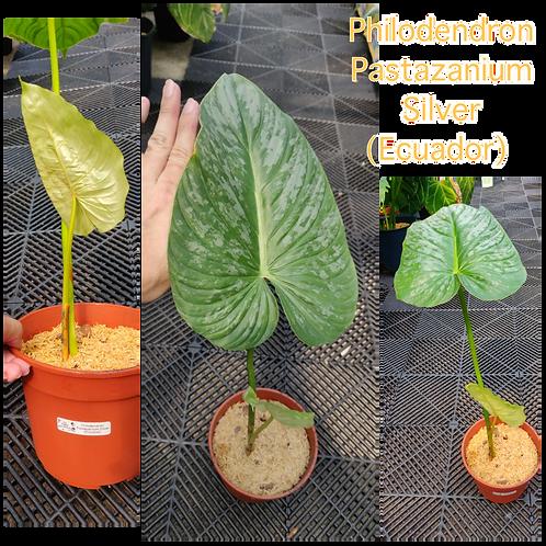 Philodendron Pastazaniam Silver