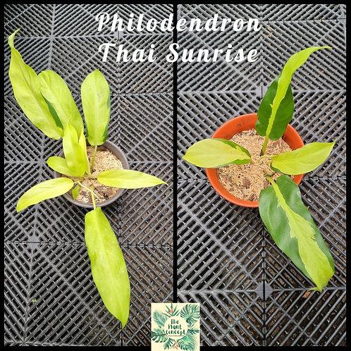 Philodendron Thai Sunrise