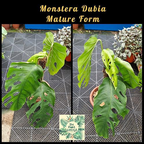 Monstera Dubia