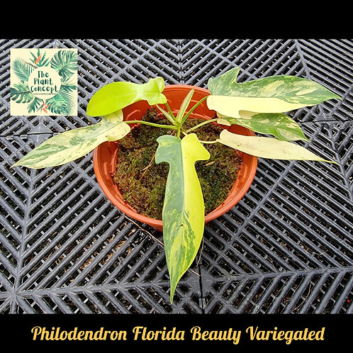 Philodendeon Florida Beauty Variegated