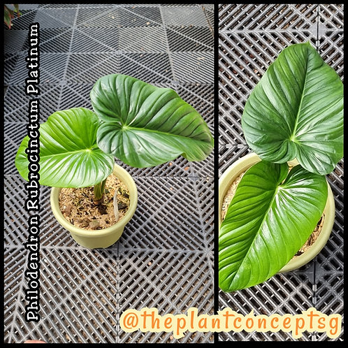 Philodendron Rubrocinctum Platinum