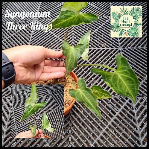 Syngonium 3 Kings