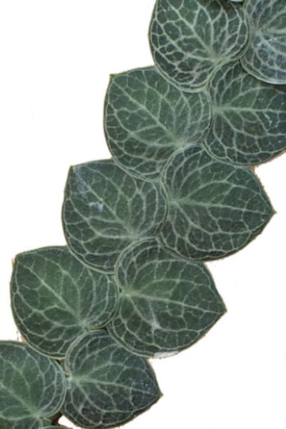Rhaphidophora Cryptantha