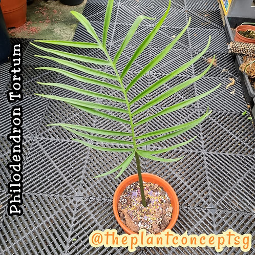 Philodendron Tortum (1-2 leave)