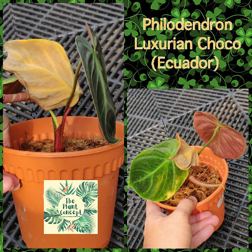 Philodendron Luxurian Choco