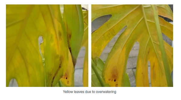 Yellowing Leaves 4.PNG