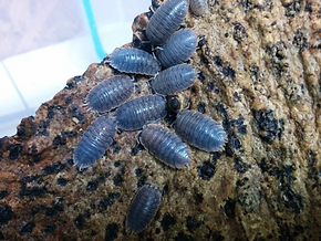 isopods.PNG
