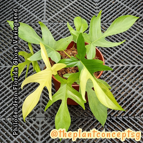 Philodendron Florida Ghost Variegated