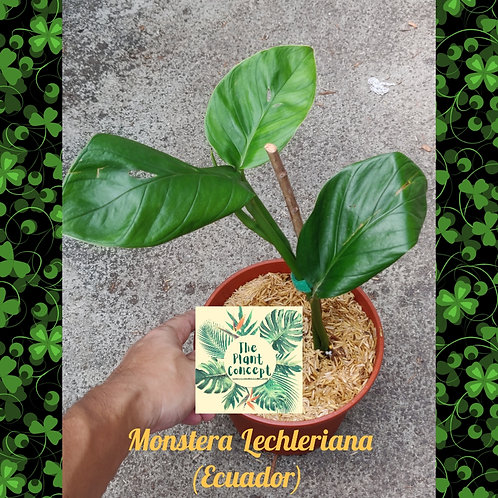 Monstera Lechleriana