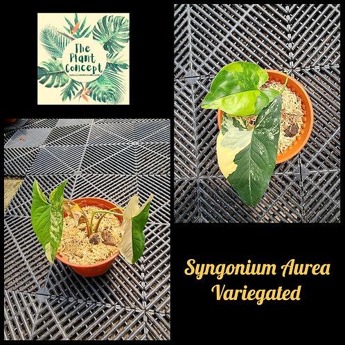Syngonium Aurea Variegated