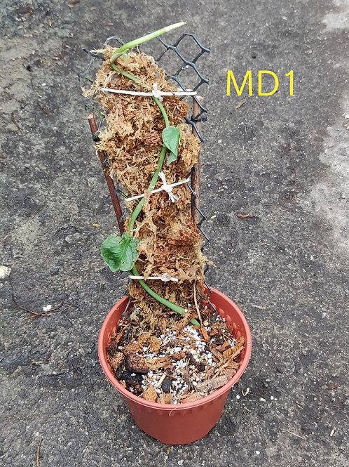 Monstera Dubia (Juvenile Form)