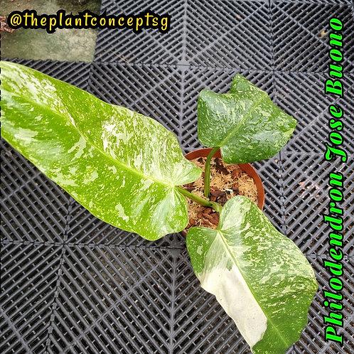 Philodendron Jose Buono (Medium)