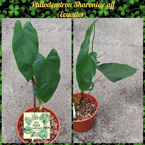 Philodendron Sharoniae aff