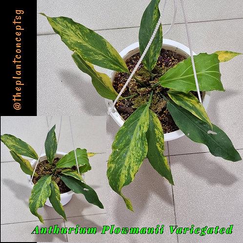 Anthurium Plowmanii Variegated