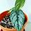 Thumbnail: Philodendron Branditinum