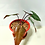 Thumbnail: Philodendron Dark Lord
