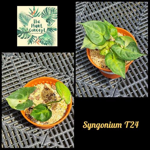 Syngonium T24