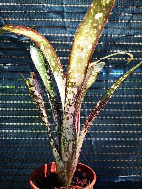 Billbergia Dreams