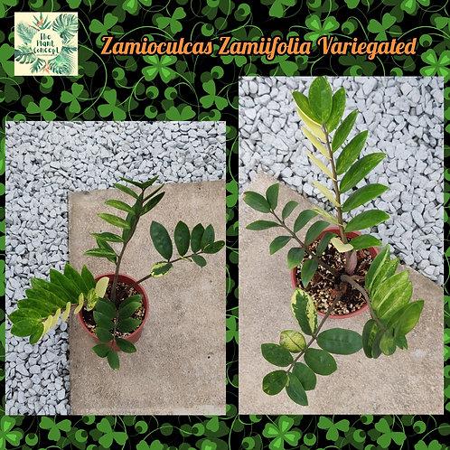 Zamioculcas zamiifolia Variegated
