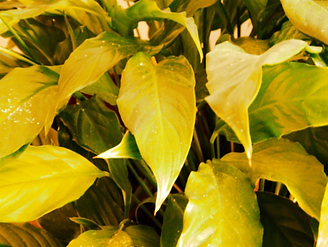 Yellowing Leaves.PNG