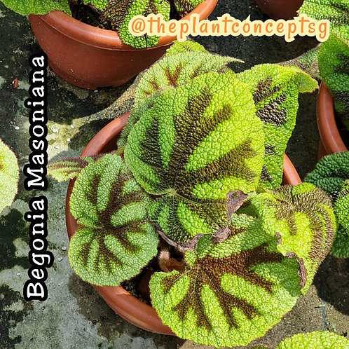 Begonia Masonia
