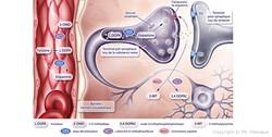 illustration médicale neuroanatomie