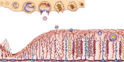 illustration médicale embryologie
