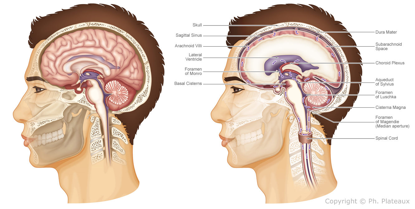 illustration médicale neuroanatomie