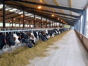 Cows feeding in robotic milk unit using self locking barriers