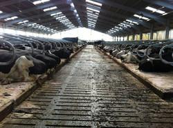Comfortable cow housing