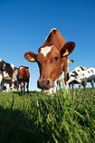 Cows by Cow Plan