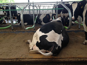 Comfortable cow in CowPlan cowcoon cubicles with Pasture Mat mattresses and 30mm premium pad foam and poly pillow brisket barrier  #comfycows